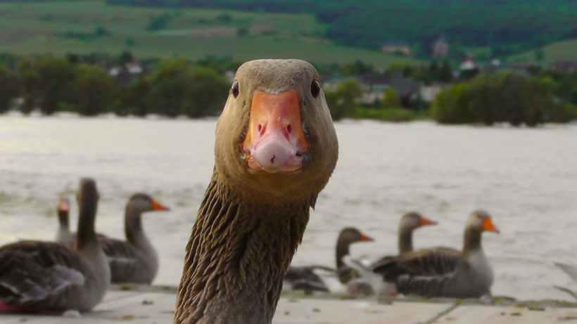 goose-water-bird-nature-bird-66863.jpeg
