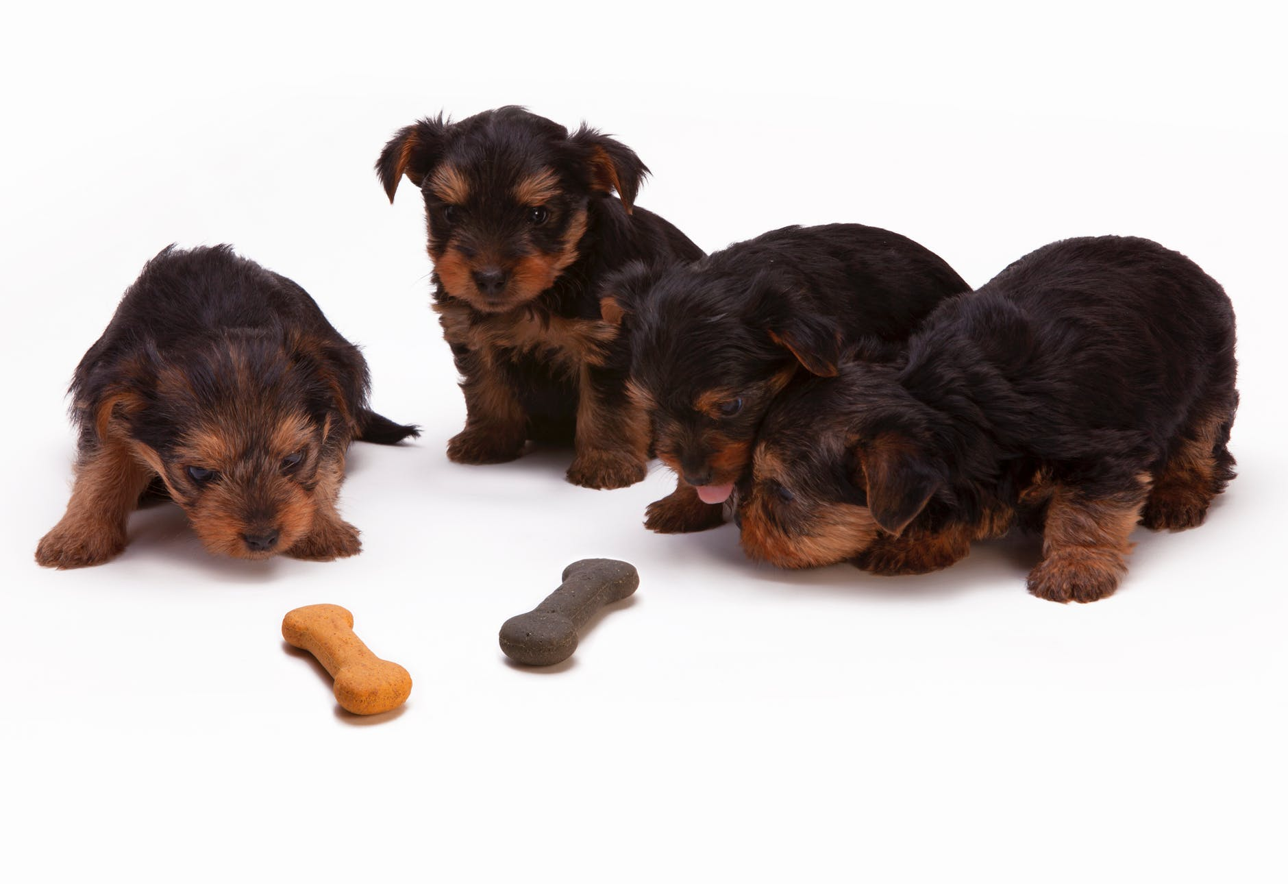 black and tan yorkshire terrier puppy